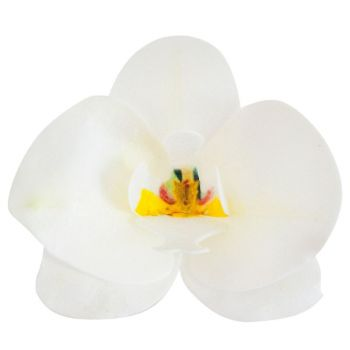 10 Orchidées blanche azyme