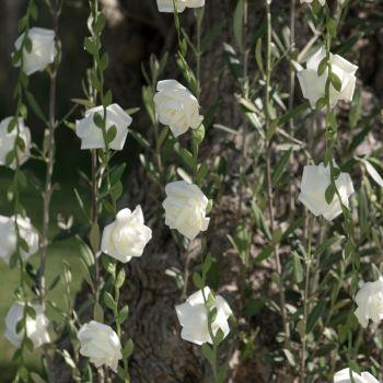 Guirlande de roses blanche