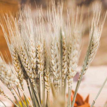Bouquet épis de blé séchés